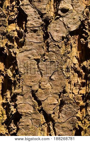 close-up of a wooden crust of a living tree, seen in cologne, germany