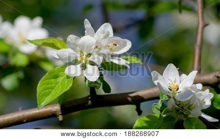 the flowers of the apple tree, several inflorescences on one branch, white with a yellow core, against the blue sky and lit by the sun, spring period, spring,