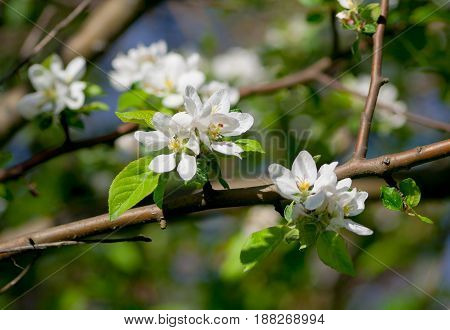 flowers of the apple tree, several inflorescences on the branches, white with a yellow core, against the background of the apple tree and illuminated by the sun, spring period, spring,