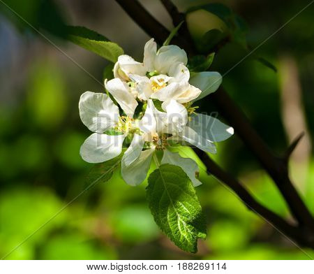 the flowers of the apple tree, several inflorescences on one branch, white with a yellow core, against the background of the apple tree and illuminated by the sun, spring period, spring, three plants