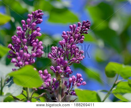 two clusters of lilacs on several branches, lilacs in buds, not blossomed, closed flowers, against the background of blue sky and green leaves, early spring,