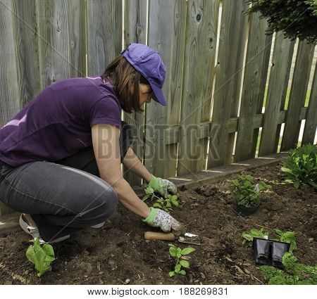 KITCHENER, CANADA - MAY 20, 2017:  Once the danger of frost has passed, gardeners of Southern Ontario take to the outdoors to plant their spring gardens. This woman is planting herb and vegetable seedlings in her small urban garden.