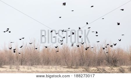 a flock of crows in the sky on the bare branches of trees .