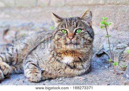 Gray cat with green eyes lies on the ground close up