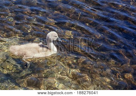 One cygnet swimming in clear rippling water on a sunny day. With space for text.
