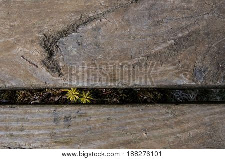 Small Yellow Sapling Grows Between Stair Treads on Hiking Trail