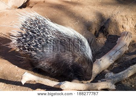 African Crested porcupine (Hystrix cristata) checking dry wooden sticks