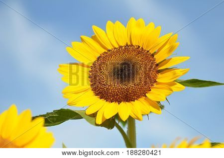 Yellow big sunflower and cloudy blue sky