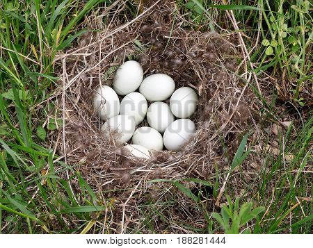 A nest of duck eggs along the road.