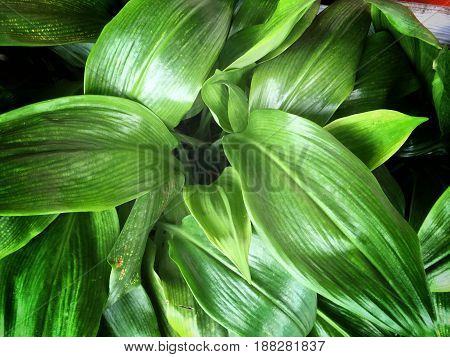 Close Up Tropical Nature Green Leaf Texture Background. Vintage Tone Filter Color Style.