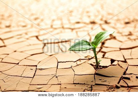 Plant in dried cracked mud (dry) . Growth concept. Drought.