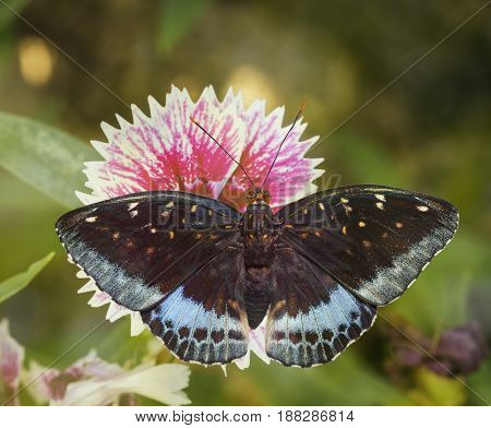 Dorsal view of male Common Archduke butterfly ( Lexias pardalis jadeitina ) on flower
