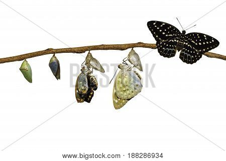 Isolated transformation of Common Archduke butterfly emerging from chrysalis ( Lexias pardalis jadeitina ) hanging on twig with clipping path