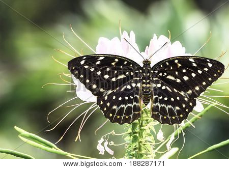 Dorsal view of female Common Archduke butterfly ( Lexias pardalis jadeitina ) resting on flower