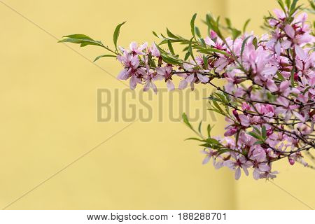 branch of a Bush with pink flowers and green leaves on a background of yellow wall