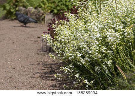 path along the flower beds with white and Burgundy spring flowers primroses dove