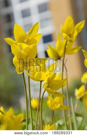 yellow tulips green stems and leaves lots of flowers flowerbed plants
