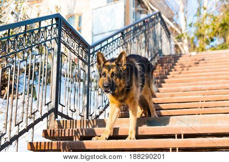 Dog German Shepherd On The Steps