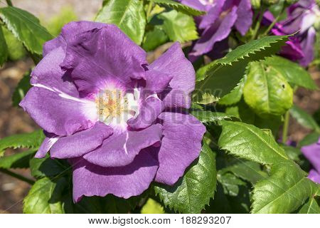 single beautiful violet colored rose in a sunny garden