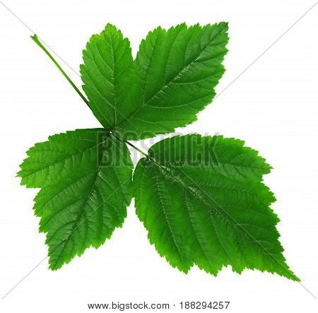 Green leaf of raspberries isolated on white with clipping path