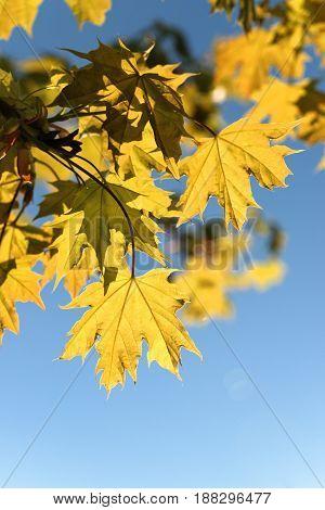 fresh macro maple leave in the bluoe sky