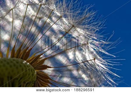 Closeup of dandelion blossom in the blue sky