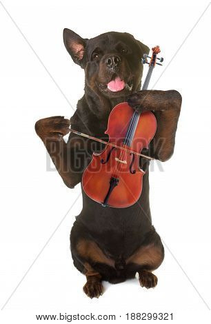 rottweiler standing up and violin in front of white background