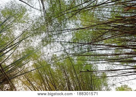 Canopy against the sky formed by tall bamboo trees