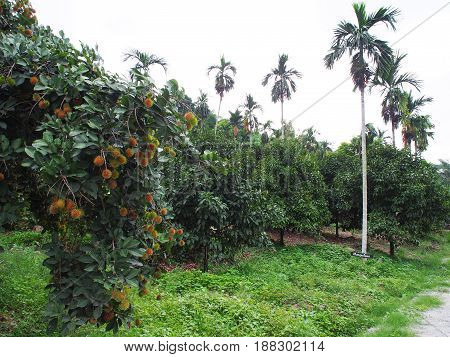 Rambutan and mangosteen trees in the garden at Thailand.