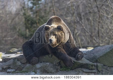bear resting on stone mountain in early spring