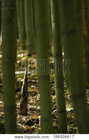 Detail of bamboo bud growing from ground