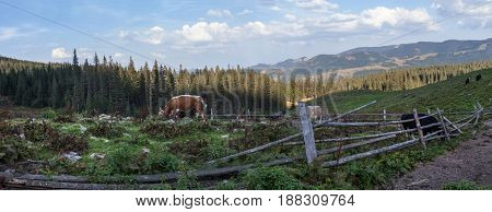 Summer landscape in the Ukrainian Carpathian Mountains. Wooden fence and cows grazing in the pasture.