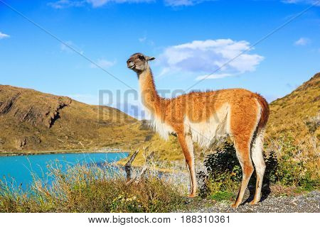 Guanaco in Torres del Paine National Park in Patagonia