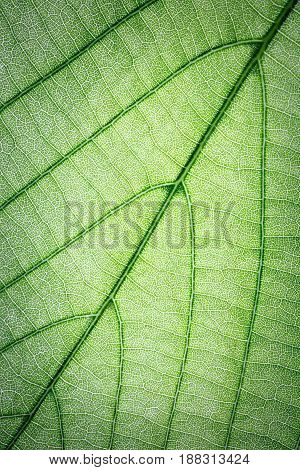 Green leaves texture use as macro background