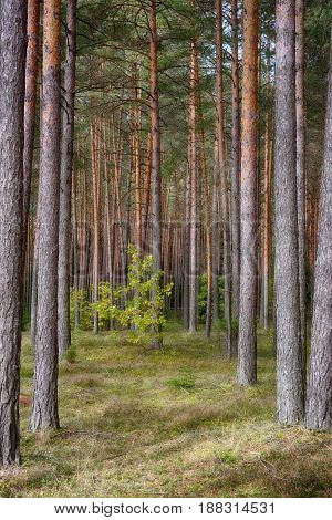 Beautiful Nature Landscape of Pine forest in dry summer. The tall trees of the pine trees growing in the old forest view inside of the forest. Vertical Wallpaper