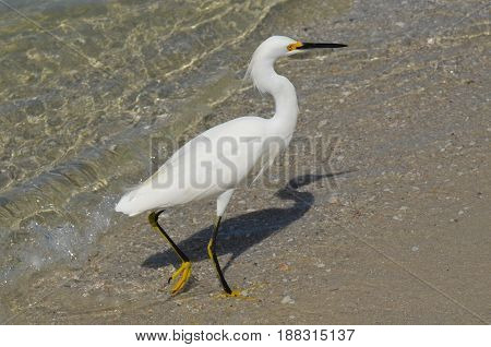 White egret walking along the beach in shallow water.