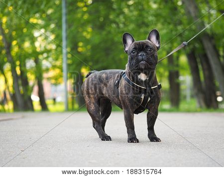 dog on a leash for a walk in the Park