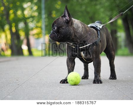 dog on a leash for a walk with a toy - yellow ball