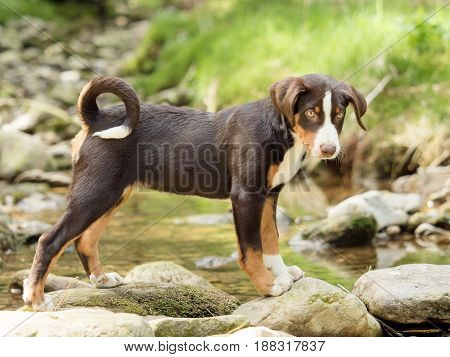 A cute Appenzeller puppy stands and waits