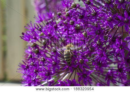 Allium onion flower with bee in garden