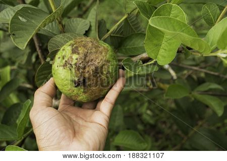 Hand touching rotten guava with tree of guava in the garden.