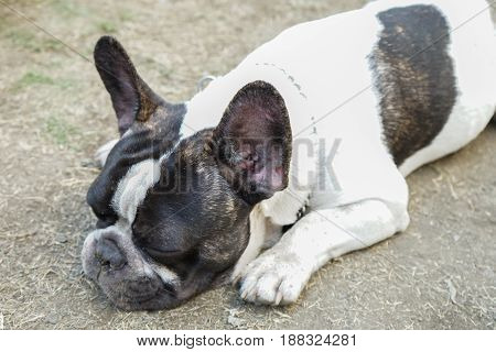 Young black and white pug is sleeping in the garden outdoors close-up