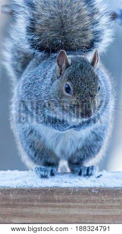 Gray squirrel (Sciurus carlinensis) sitting up on a deck rail