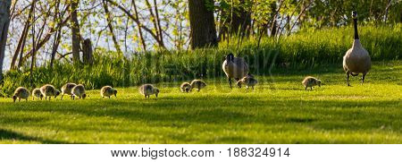 Panoramic image of Canada Goose  (branta canadensis) family eating next to a lake