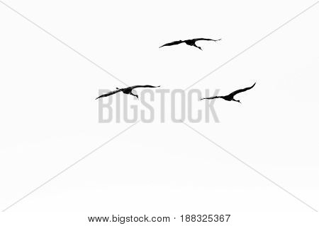 B&W photo of three Sandhill cranes (Grus canadensis) flying during spring migration