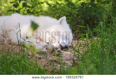 Portrait of a sleeping polar wolf in a wildpark