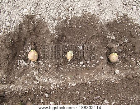 Potatoes in the earth. Potatoes planted in soil.