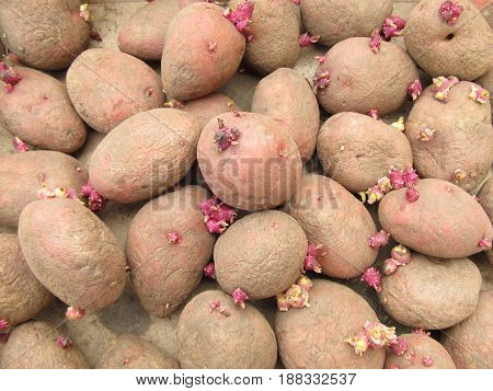 Potatoes for landing. The photo of potatoes with sprouts for landing to the earth.