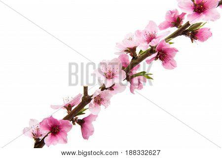 Sakura delicate flowers isolated on white background