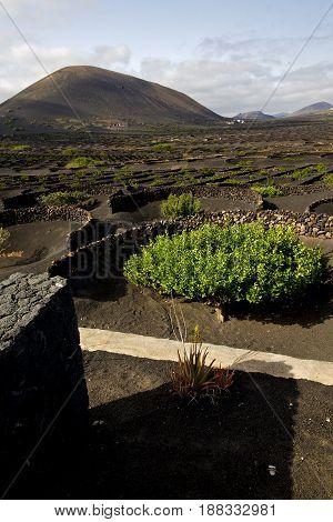 Wall Grapes   Lanzarote Spain La Geria Vine Screw  Crops